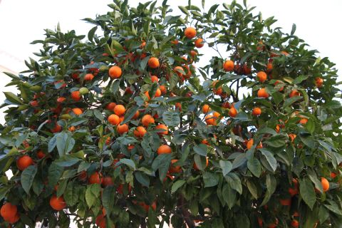 Get lost in any orange tree garden and eat a genuine orange